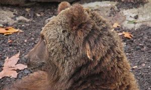 Suhtautuminen karhuun vaihtelee suuresti eri maissa. Sveitssä karhuja pelätään lähes hysteerisesti, kun taas naapurissa italialaiset tahoisivat kasvattaa kontioden määrää.