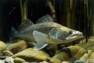 Kuha on arvokkaimpia kalalajejamme, mutta valitettavasti kuhakannat ovat heikentyneet.