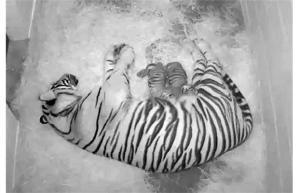 Damai-äiti imettää kahta yhdysvaltalaisessa elintarhassa syntynyttä poikastaan. Luonnossa sumatrantiikeri on erittäin harvinainen ja uhanalainen.