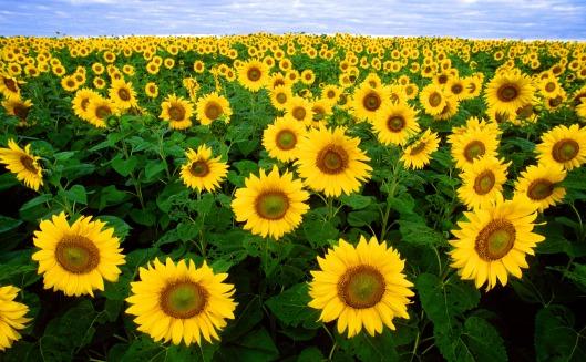 Auringonkukka menestynee myös tulevaisuuden muuttuneissa ilmasto-oloissa.