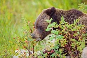 Marjat maistuvat karhuille varsinkin loppukesällä ja syksyllä eläinten kerätessä ravintovarastoja pitkän talven varalle.