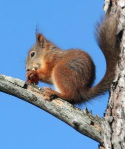 Meille tuttu punaorava on Suomessa vielä voimissaan, mutta ainakin Brittein saarilla ja Pohjois-Italiassa laji on ahdingossa amerikkalaisen muukalaisen takia.