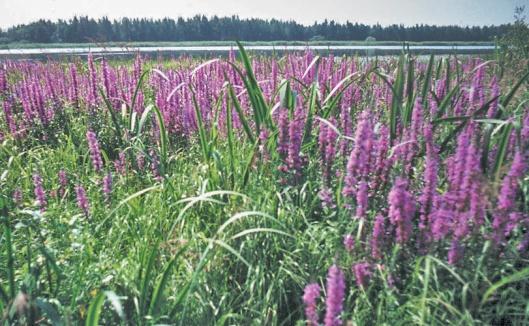 Rantakukan voimakas leviäminen estää muiden kasvien esiintymisen, minkä seurauksena kosteikkomaisemiin kehittyy näyttäviä yhden lajin hallitsemia kukkaniittyjä.