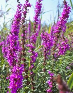 Rantakukka on uusiin olosuhtesiiin erinomaisesti sopeutuva kasvi, joka valloittaa parhailaan Pohjois-Amerikan kosteikoita ennen näkemätömällä vauhdilla.