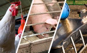 Yhdysvaltain karjataloudessa suuria määriä antibiootteja syötetään eläimille rehun mukana lihantuotannon tehostamiseksi.