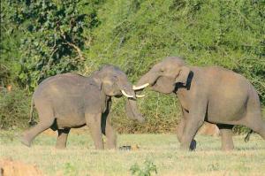Koko on paljon syöksyhampaita tärkeämpi tekijä ratkaistaessa norsu-urosten välisiä kamppailuja.