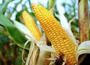 Geenimuunnellut maissit ovat olleet EU:ssa jo pitkään, mutta uuden lajikkeen hyväksyminen oli kovan väännön takana. Enemmistö jäsenmaista vastusti, mutta Suomi puolsi uuden TC1507-lajikkeen viljelylupaa.