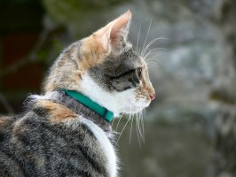 Kirppupanta voi pitää kissan tyytyväisenä, mutta kirputtomuuden hinta voi olla turhan korkea, jos myrkyt siirtyvät lemmikin kaulalta lapsiin.