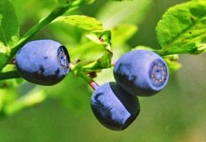 Mustikka on mitä monipuolisin terveyden huoltaja.