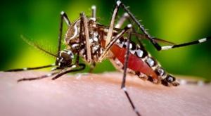 Aedes aegypti -lajin moskiitot levittävät hengenvaarallisia kuumetauteja, mutta niiden geenimuunnellut yksilöt voidaan saada myös pysäyttämään epidemioiden leviämismahdollisuudet.