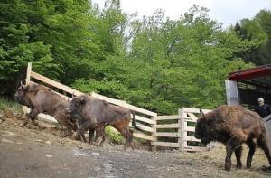 Alallaan kaikkien aikojen suurin visentin palautusoperaatio toi maanosamme suurimman sorkkaeläimen takaisin Balkanille.
