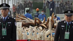 Laitonta norsunluuta on valtavasti Kiinan markkinoilla, vaikka tullin haaviinkin tarttuu suuria eriä. Tammikuussa 2014 viranomaisten valvonnassa tuhottiin 6 tonnia takavarikoitua norsunluuta.