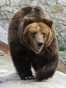 Venäjän mahdin symboliksi noussut karhu on hätää kärsimässä Moskovan eläintarhassa, kun maan hallitus on estänyt otsojen suosikkiruoan tuonnin.