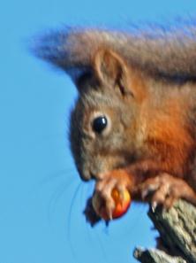 Meille tuttu ja arkinen orava on tätä nykyä  Brittein saarilla harvinaisuus, joka tarvitsee erityistä suojelua.