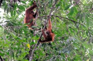 Uhanalainen oranki voi välttyä sukupuuttoon kuolemiselta vain, mikäli sademetsien tuhoutumistahti saadaan kuriin.
