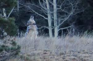Edes nuorta sutta ei pitäisi vahingossa sekoittaa kojoottiin, jollaisena riistaviranomaisten seurannassa ollut nuori naaras tapettiin Utahissa.
