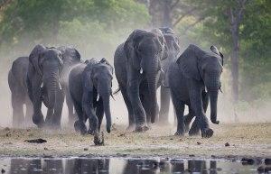 Hwangen kansallispuistossa elää tätä nykyä paljon enemmän norsuja kuin alueen luonto kestää vaurioitumatta.