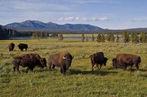 Lähes viisituhatta biisonia on liikaa Yellowstonen kansallispuiston luonnon kestokyvylle.