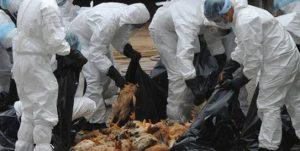 Kymmenien tuhansien, lintuinfluenssavirusta kantavien  kananpoikien ja ankkojen joukkoteurastukset ovat Taiwanille valitettavasti jo tutuksi tullut riesa.