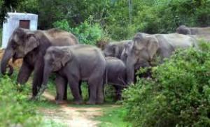 Päättäväisesti etenevää norsulaumaa ei voi pysäyttää.