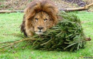 Linton Zoon leijonille joulu tarjoaa hupia vielä juhlapyhien jälkeenkin.