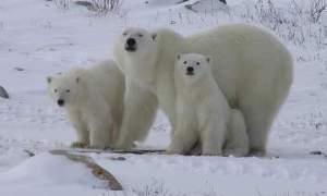 Kanadassa elää noin 60 prosenttia maailman jääkarhuista, ja osuus näyttää jatkossa yhä nousevan jäätilanteiden käydessä vaikeiksi.