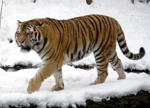 Uhanalaisia siperian- eli amurintiikereitä on eläintarhoissa ja -puistoissa huomattavasti enemmän kuin luonnossa.
