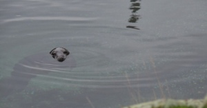 Torsten-naaras ui taas vapaana Itämeren rantavesissä.