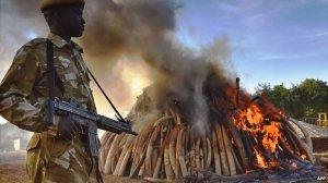 Kenian valtio tuhoaa vuoden 2015 aikana kaikki salametsästäjiltä tai kauppiailta takavarikoimansa norsunluut.