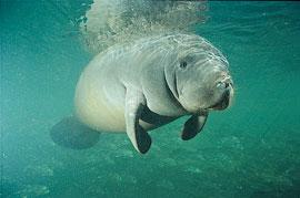 Vuode 2015 laskennassa Floridan rantavesillä havaittiin yli tuhat manaattia enemmän kuin vuonna 2010.