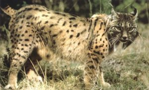 Iberianilveksen kanta on toipunut lähes sukupuuton partaalta, mutta laji on edelleen maailman havinaisin kissapeto ja erittäin uhanalainen.