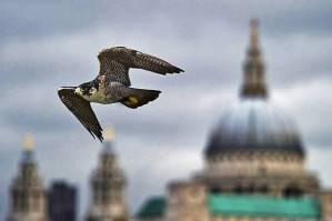 Lontoossa elää noin 30 muuttohaukkaparia.