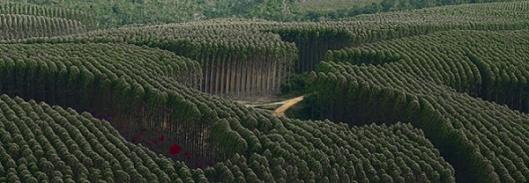 Brasiliassa on tätä nykyä noin 3.5 miljoonaa hehtaaria tavanomaista eukalyptuspuuta tuottavia puuplantaaseja.