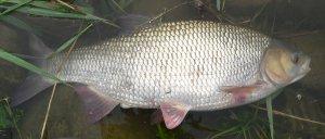 Säyne voi elää oletettua vanhemmaksi, mutta ikää ei voi suoraan päätellä kalan koosta.