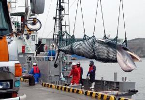 Japanin tieteellisen valanpyynnin nojalla elävänä satamaan tuodaan vain osa vuosittaisesta lahtivalassaaliista.