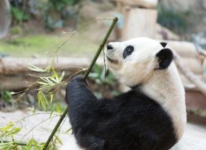 Jättiläispandoja on luonnonvaraisena vain Kiinassa, jossa lajia pidetään kansallisena symbolina.