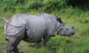 Uhanalaisilla sarvikuonoilla on Nepalissa luultavasti turvallisemmat olot kuin missään muualla levinneisyysalueellaan.