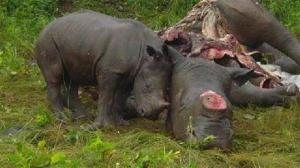 """Krugerin kansallispuisto menettää uhanalaisia sarvikuonoja hälyttävään tahtiin. Näitä kahta tapettua eläintä ei taida lohduttaa tieto """"tasapelistä"""" sillä, riistanvartijat tappoivat tapahtuman yhteydessä kaksi salametsästäjää."""