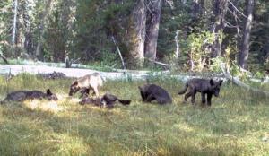 kahden aikuisen ja viiden pennun lauma on kotiutumassa Pohjois-Kaliforniaan.