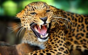 Jaguaari on Etelä-Amerikan viidakkojen tyyppilaji, ja läntisen pallonpuoliskon suurin kissapeto.