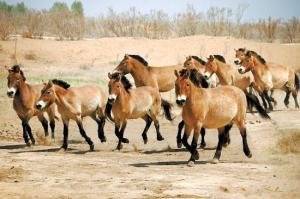Neljäsosa jäljellä olevista aasianvillihevosista elää Kiinan ja Mongolian erityissuojelualueilla.