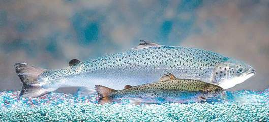 Samanikäiset lohikalat vertailussa: Edessä luonnonvarainen Atlantin merilohi, taustalla geenimuuntelun keinoin kehitetty AquAdvanrtage Salmon.