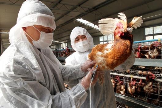 Lintuinfluenssaepidemian leviämistä estetään kiinalaisilla tiloilla rokottamalla siipikarjaa. Jos tilalta tai tuotantotiloista tavataan vaarallista lintuinfluenssavirusta, kaikki linnut tuhotaan ja tilat desinfioidaan. Kuvalähde: AFP.