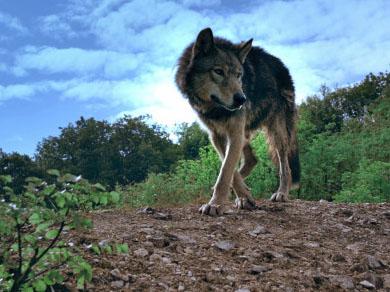 Italian susikanta on voimistunut 2000-luvulla, mutta samanaikaisesti vaino ja rauhoitettujen petojen salametsästys on yleistynyt.