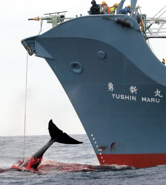 Yushin Mary -aluksella on vuosien kokemus kaupallisesta valaanpyynnistä, vaikka Japani perusteleekin toimintaa tieteellisen tutkimuksen nimissä. Kuvalähde: Jeremy Sutton-Hibbert/AFP/Getty Images.