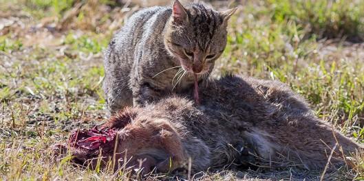 Villintynyt kissa saalistaa ja tappaa keskimäärin neljä luonnonvaraista eläintä vorokaudessa. Kuva: Petsmart.org.au