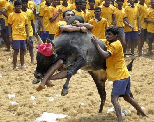 Jallikattu – härän kesyttäminen on juhla, jonka jättivaltion korkein oikeus katsoi eläinsuojelun vastaiseksi parituhatvuotisesta perinteestä huolimatta. Kuvalähde: G. Moorthy, The Hindu.