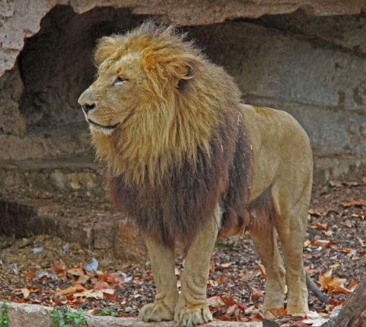 """Leijonat ovat norsujen kiinalaisten ohella """"ostoslistan"""" kärjessä, kun kuivuudesta kärsivä Zimbabwe myy eläimistöään."""