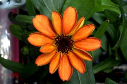 Oppineiden kukka, Zinnia on ensimmäinen painottomassa tilassa avaruudessa kukkiva kasvi.