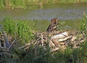 Majavien vaikutukset luontoon ovat paljon laajemmat kuin vain helposti havaittavat patorakennelmat ja patoaltaat osoittavat. Kuva: Kanadanmajava Alaskassa. Lähde: en.wikipedia.org.